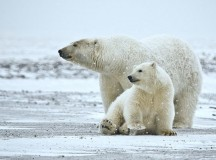 A polar bear and her cub. Image: Alan Wilson, naturespicsonline.com/index.html