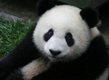 Two giant pandas, like the one shown here, are coming to Canada. Image: Sheila Lau