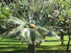 Cycad at the royal palace grounds, Laung Prabang, Laos