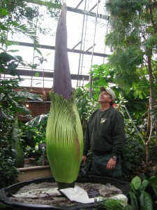 Amorphophallus-Apr282012 worlds tallest flower