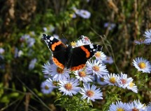 Red Admiral Butterfly. Image: Bill Hardwick