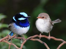 Superb Fairy Wrens; Image: Benjamint444