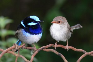 "(Grade 1: Science) ""You are Superb!"" – Baby Superb Fairy-Wren Sings For Its Supper"