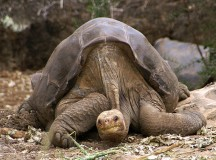 Lonesome George the giant turtle. Image: putneymark.