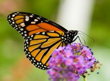 Unlocking The Mysteries Of The Monarch Butterfly's Incredible Journey