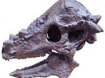 A Pachycephalosaurus skull (Image: Ballista from the English Wikipedia)