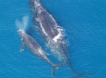North Atlantic Right Whale mother and calf. Image from the US government