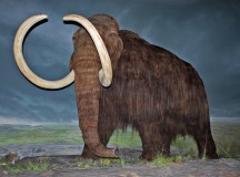 Woolly mammoth restoration at the Royal British Columbia Museum, Victoria, British Columbia. Image: WolfmanSF