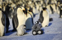 Brooding emperor penguin with its chick approached by a rover camouflaged with a fake chick. Photo: Nature Methods, Le Maho et al.