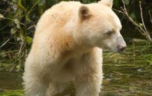 Only 200 Spirit bears are left in existence. Image: Wikipedia