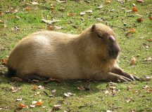 A male capybara. Image: Egg
