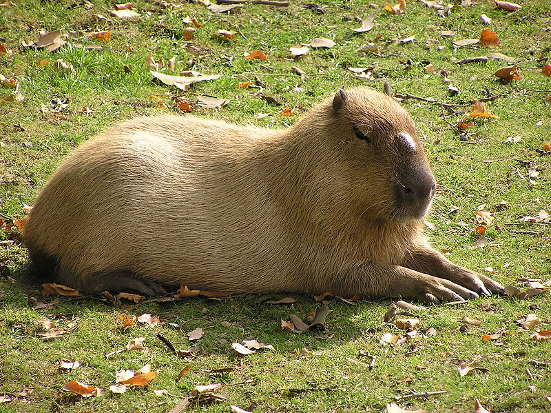 Bonnie And Clyde Capybaras Escape From Toronto Zoo ...