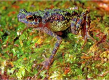 """Extinct"" Rainbow Toad Found In Borneo"