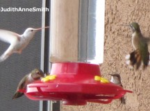 Albino hummingbird; Image: Judith Anne Smith