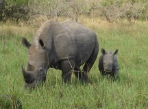 Rhinos; Image: Princess. Tilly