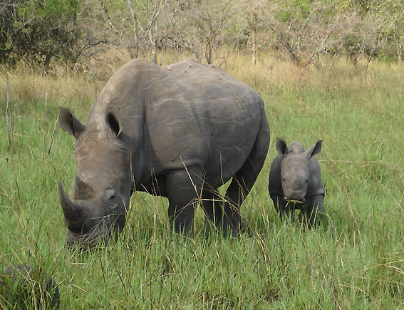 Rhinos Being Poached For Horns