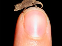 World's smallest chameleon with a finger