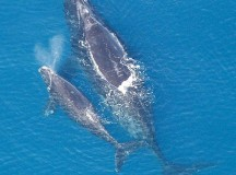 A North Atlantic Right Whale and its calf. Image: www.nmfs.nooaa.gov