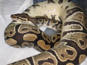 A ball python. Image: WingedWolfPsion