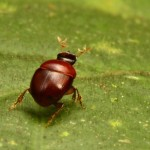 "The tiny ""lilliputian beetle"", which is only 2.3 mm long. Image: Stuart V Nielsen"