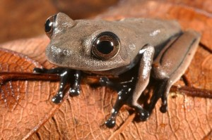 "This chocolate-colored ""cocoa"" frog may be a new discovery. Image: Stuart V Nielsen"