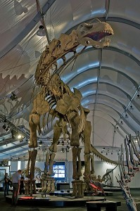 A reconstructed skeleton of Argentinosaurus huinculensis, which is in the Titanosaur group. Image: Eva K.