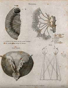 Mesentery: Four figures of the lacteals, the aorta & mesente. Image: Wellcome Images